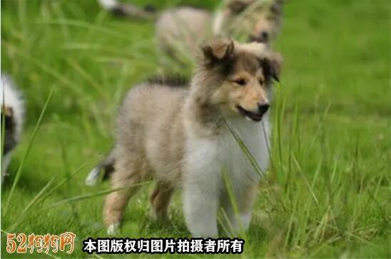 苏格兰牧羊幼犬