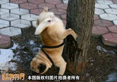 怎样训练巴哥犬去厕所?