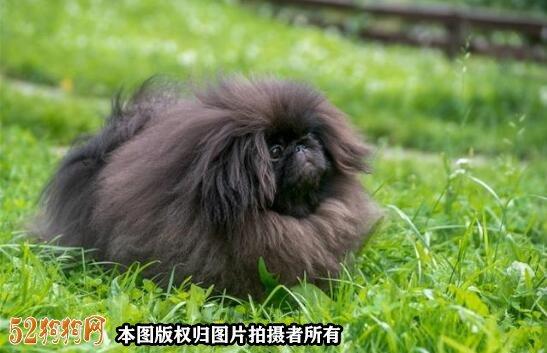 现在还有纯种京巴犬么?