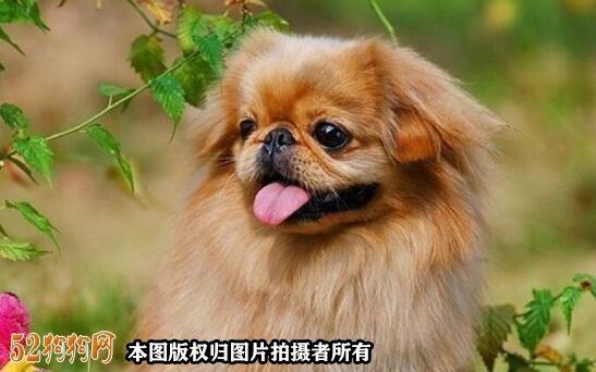 棕色京巴犬
