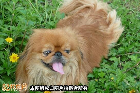 棕色京巴犬图片2