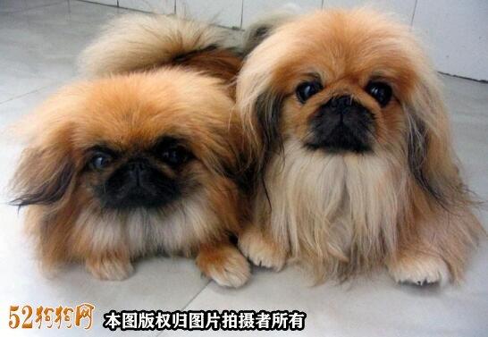 棕色京巴犬图片3
