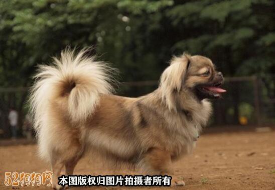 棕色京巴犬图片4