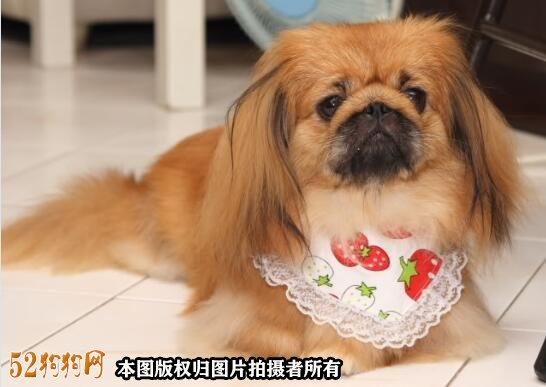 棕色京巴犬图片5