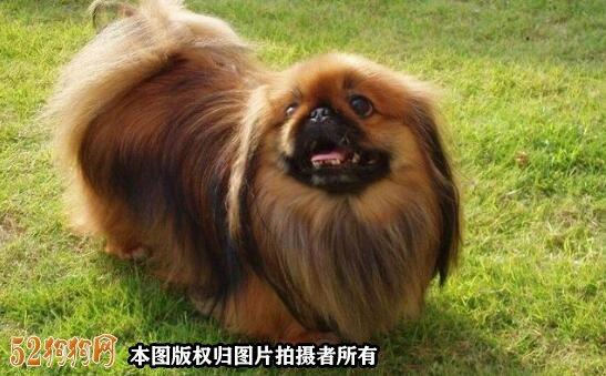 棕色京巴犬图片6
