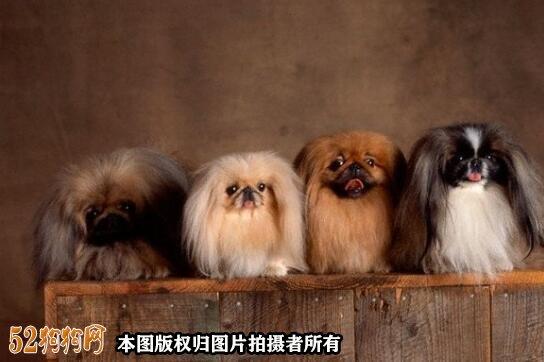棕色京巴犬图片8
