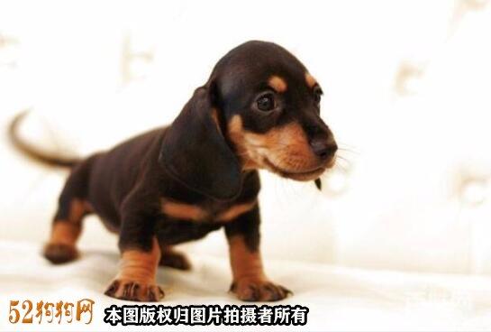 小腊肠狗价格?