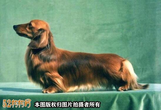 腊肠犬掉毛程度?