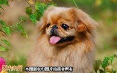 棕色京巴犬、棕色
