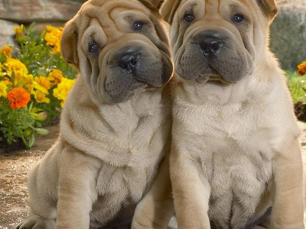 长耳朵短尾巴的狗_沙皮狗图片-狗狗图片-52狗狗网