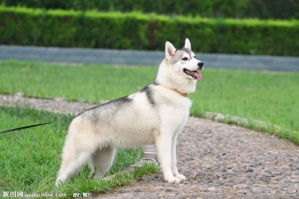 忍耐图片_哈士奇图片-狗狗图片-52狗狗网