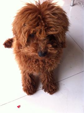 泰迪狗美毛